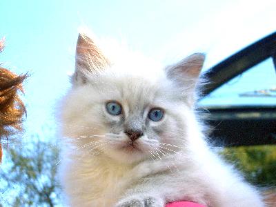 chaton champion monde ragdoll elevage fuzelliere
