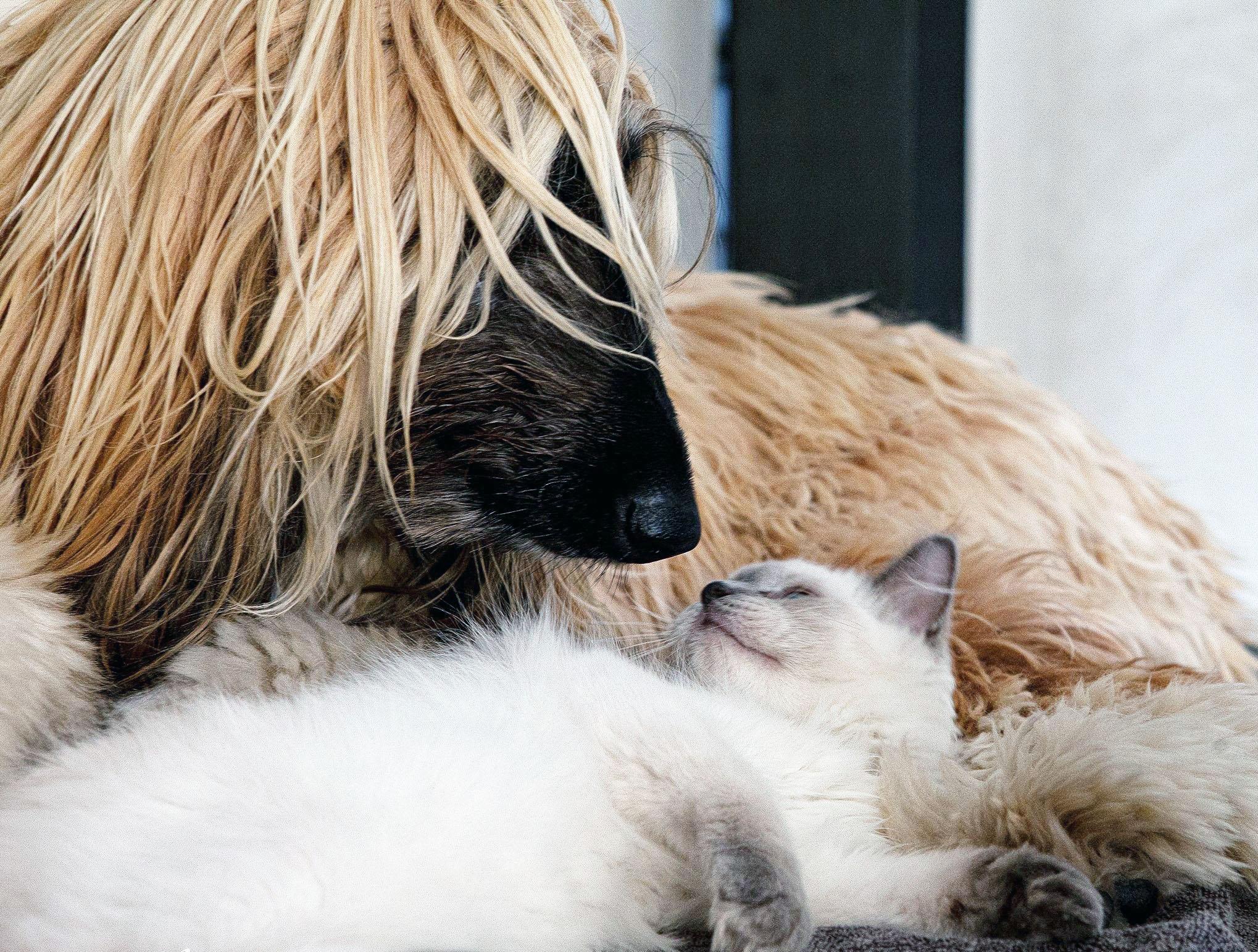chat ragdoll avec un chien chatterie fuzelliere
